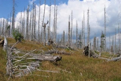 Modravsko - od roku 1994 nevyrostl v této lokalitě jediný zelený smrček